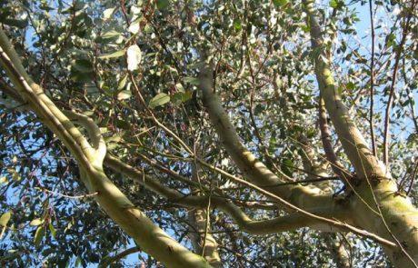 תחת עץ האקליפטוס – זיכרונות עם מילים ומנגינות.